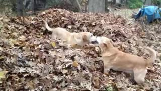 Dogs playing in leaf pile - Video