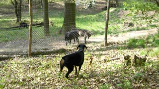 Wolves and Dogs Separated by a Fence - Video