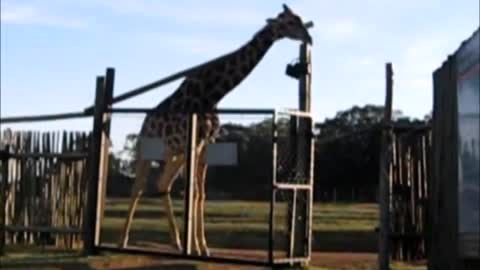 Giraffe breaks gate, another attempts to fix it