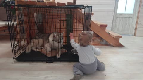 Baby Arthur is trying to free his friend husky from the cage.
