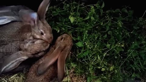 Hungry Hungry Gray Rabbits Eats Raw material food