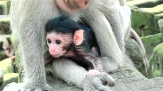 Amazing Baby Monkey At Angkor Park - Video