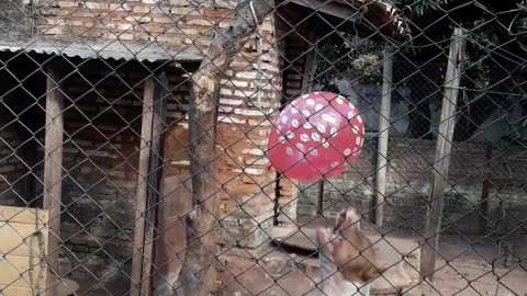 Pit-bull Puppies Playing with a Balloon