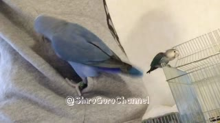 Compilation of parrots playing children's games together - Video
