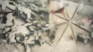White dog blocked behind clear umbrella - Video