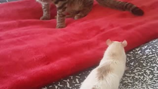 Rat and Cats first meeting  - Video