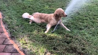 Golden Retriever obsessively plays with sprinkler