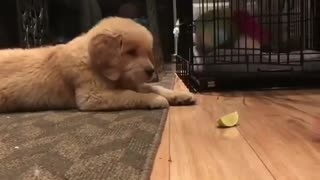 How to play with your dog eat limon or trick