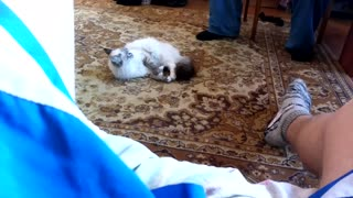 The cat has gone crazy  - Video