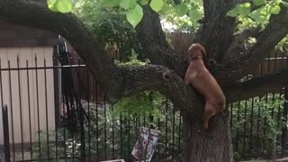 Dog climb tree like cat