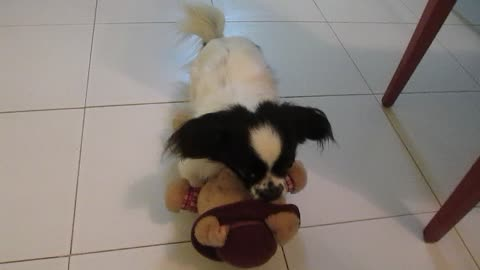 My dog want to kill his pig toy