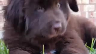 Cutest 9 week old Newfoundland puppy gets bur stuck in his mouth - Video