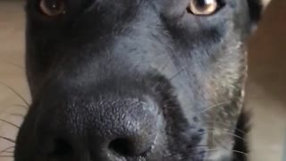 Slow motion video of a black dog licking peanut butter off its nose