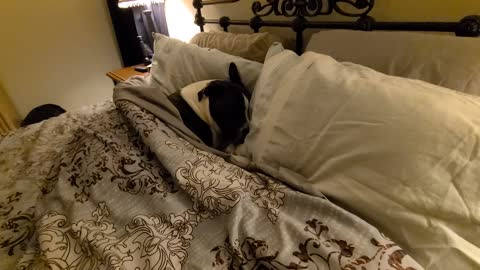 Bruno the pit bull is so sleepy in mommy's bed