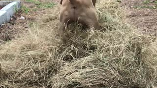 Velvet Mastiff Loves Playing in Hay
