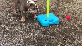 Hugo the Bulldog Loves Playing Swingball