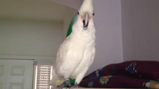 Cockatoo totally hates the vacuum cleaner - Video