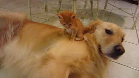 Funny Orange Foster Kitten Sitting On Dog's Shoulder & Neck - 3 Weeks Old - Golden Retriever