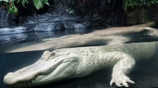 Rare Albino Alligator