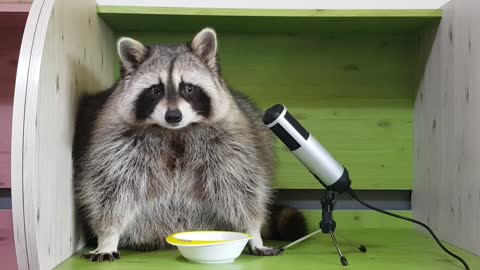 Raccoon's crunching snacks and eating them deliciously.