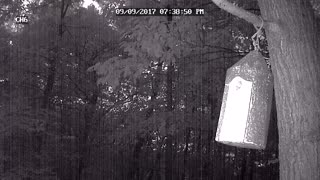 Southern Flying Squirrels Pulling Baby from Nest - Video