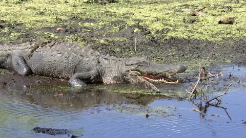 American alligator basking in Florida swamp