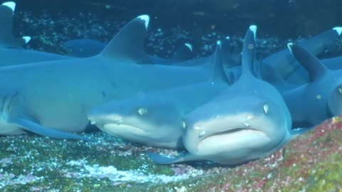 Diver Curiously Approaches Sleeping White Tip Reef Sharks