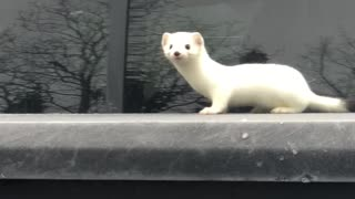 Woman Happens Upon Curious Ermine