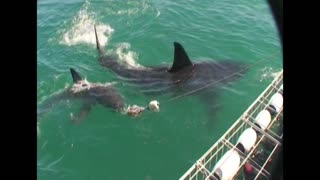 Two Great White Sharks Circle Boat With Cage Divers - Video
