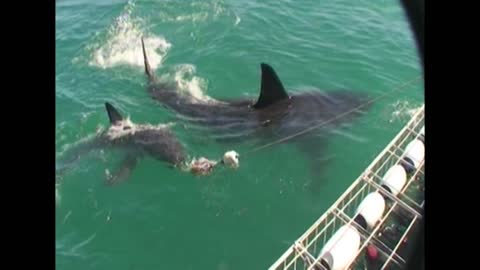 Two Great White Sharks Circle Boat With Cage Divers