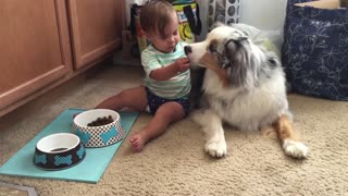 Baby hand feeds dog food to Australian Shepherd - Video