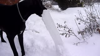 Great Dane munches on world's largest popsicle - Video