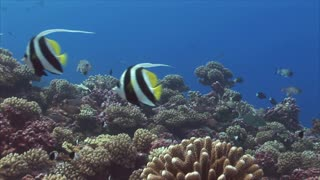 Tropical Fish Moves Between Coral Reef Under water