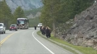 Yellowstone bison herd charges towards vehicle - Video