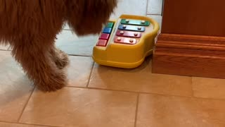 Goldendoodle puppy learns how to play the toy piano