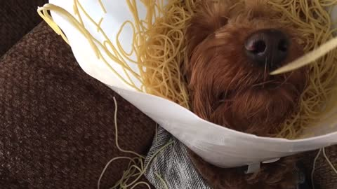 Goldendoodle Is Our Spirit Animal