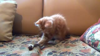 Watch this cute little kitten playing alone