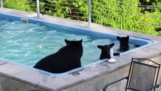 Bears have a pool party!