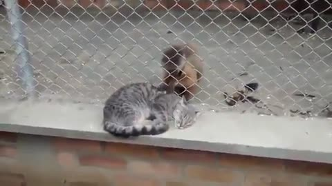 Zoo Monkey Offers Unforgettable Grooming Experience To Feral Cat