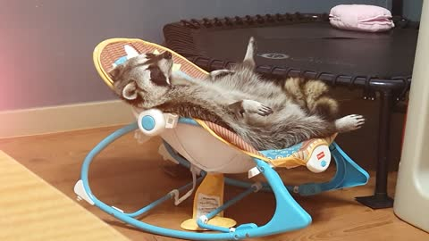 Most relaxed raccoon ever lounges in baby seat