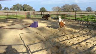 Happiest Mini Horses Ever!  - Video