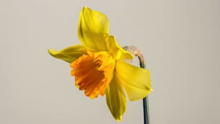 Blooming slowmotion timelapse