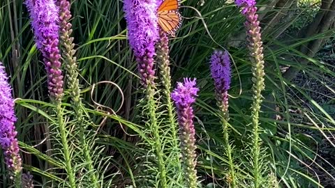 Beautiful Monarch Butterfly among gorgeous flowers