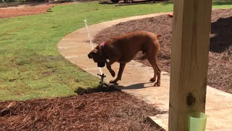 Dog Doesn't Understand Sprinkler