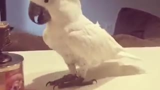 Cockatoo shows off impressive dance moves - Video