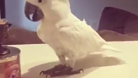 Cockatoo shows off impressive dance moves
