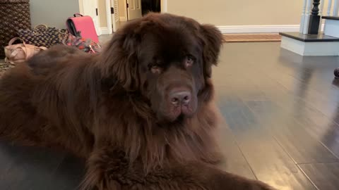 Playful owner sneaks up on her giant Newfoundland