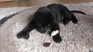 German Shepherd puppy introduced to baby quails