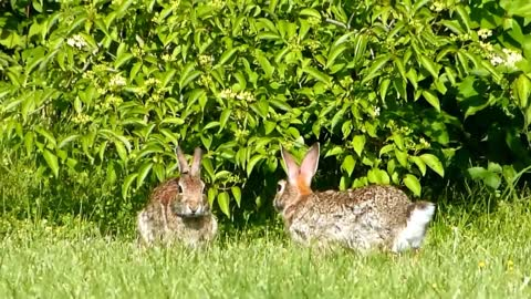 Eastern Cottontail Rabbits Playing in the Grass
