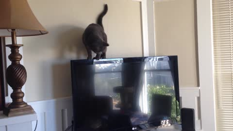 Cat hilariously falls (and recovers) while tightrope-walking atop a flat-screen TV